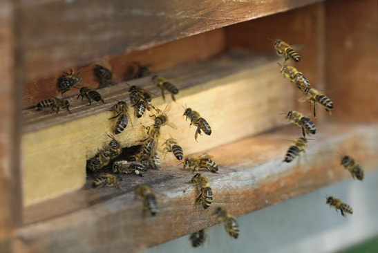 Honeybees flying into their hive