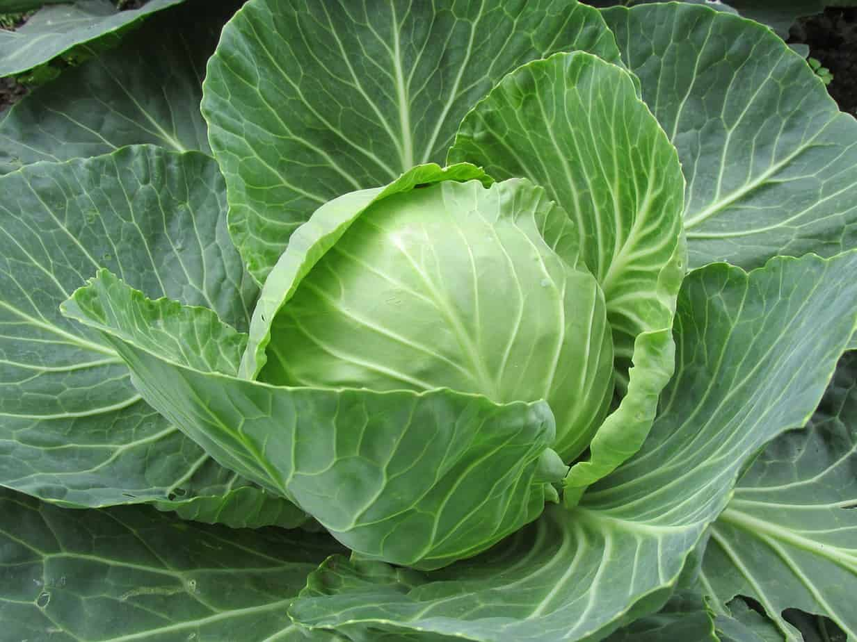 Cannonball cabbage